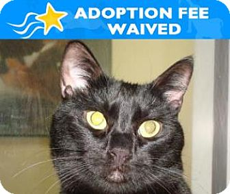 Domestic Shorthair Cat for adoption in Miami, Florida - Sweetie