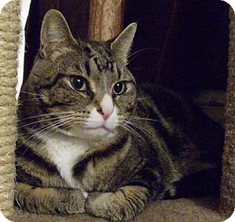 Domestic Shorthair Cat for adoption in Vancouver, Washington - Boots aka Bootie