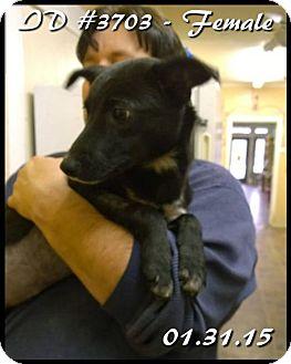 Boxer/Labrador Retriever Mix Dog for adoption in Corinth, Mississippi - Toodles