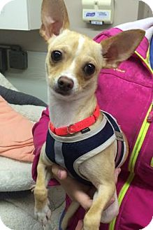 Chihuahua Mix Dog for adoption in Bradenton, Florida - Jimmie