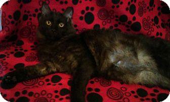 Domestic Mediumhair Cat for adoption in Mt. Pleasant, Pennsylvania - Phillip