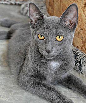 Domestic Shorthair Cat for adoption in Bronx, New York - Jasmine