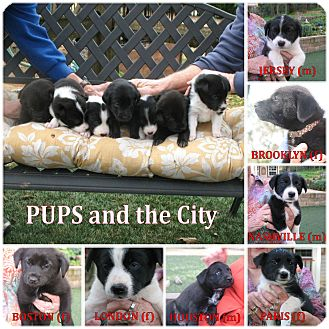 Border Collie Mix Puppy for adoption in Corning, California - PUPS and the CITY