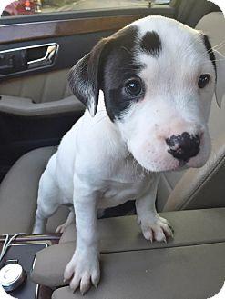Boxer/Labrador Retriever Mix Puppy for adoption in Kittery, Maine - BINGO