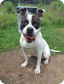 American Bulldog/Pit Bull Terrier Mix Dog for adoption in Lafayette, New Jersey - Murphy Girl