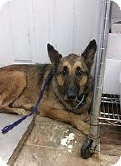 German Shepherd Dog Mix Dog for adoption in Darlington, South Carolina - Kane