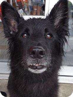 Belgian Shepherd Mix Dog for adoption in Pierrefonds, Quebec - Ebony