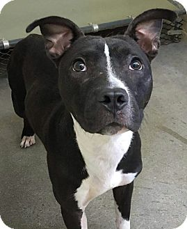 American Pit Bull Terrier/Labrador Retriever Mix Puppy for adoption in Sharon, Connecticut - Indigo