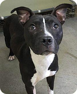 American Pit Bull Terrier/Labrador Retriever Mix Puppy for adoption in Sharon, Connecticut - Indigo