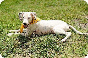 Dalmatian Dog for adoption in Muldrow, Oklahoma - Spot