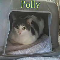 Domestic Shorthair Cat for adoption in Pensacola, Florida - Polly