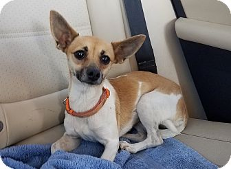 Chihuahua Mix Dog for adoption in San Antonio, Texas - Clio