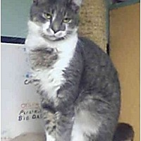 Domestic Shorthair Cat for adoption in Bay City, Michigan - Archie