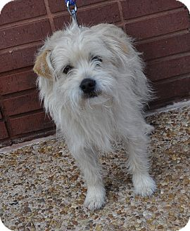 Westie, West Highland White Terrier/Terrier (Unknown Type, Small) Mix Dog for adoption in Atlanta, Georgia - Alec