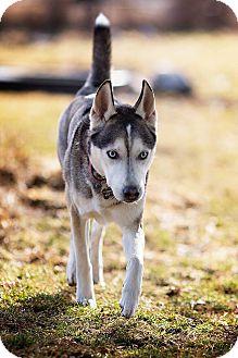 Siberian Husky Mix Dog for adoption in Tweed, Ontario - Adoption Pending!!!!!!Hector