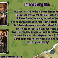 Adopt A Pet :: Gus - Sumter, SC