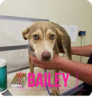 Husky Mix Puppy for adoption in Grand Ledge, Michigan - Bailey