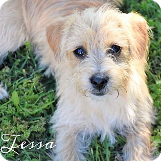 Terrier (Unknown Type, Small) Mix Puppy for adoption in Rancho Santa Fe, California - Tessa
