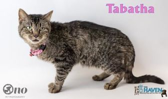 Domestic Shorthair/Domestic Shorthair Mix Cat for adoption in Fairhope, Alabama - Tabatha
