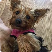 Adopt A Pet :: Little Bella - Long Beach, NY