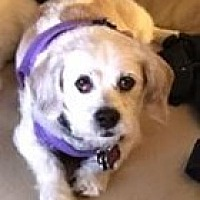 Lhasa Apso/Terrier (Unknown Type, Medium) Mix Dog for adoption in Tenafly, New Jersey - Daphne