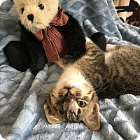 Domestic Shorthair Kitten for adoption in Apex, North Carolina - Tristan
