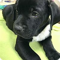 Adopt A Pet :: Beau ❤ ADOPTED! - Saratoga Springs, NY