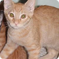 Adopt A Pet :: FRANKIE (Kitten) - New Bern, NC