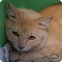 Domestic Mediumhair Cat for adoption in Tucson, Arizona - Lorraine