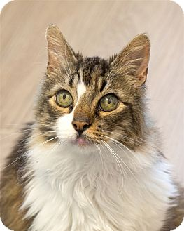 Domestic Longhair Cat for adoption in San Luis Obispo, California - Carson