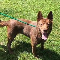 Adopt A Pet :: Foxy - Germantown, OH