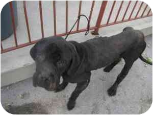 Cane Corso Dog for adoption in New York, New York - Buddy-PA