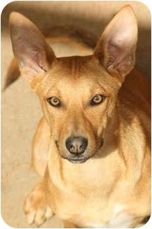 Pharaoh Hound/Labrador Retriever Mix Puppy for adoption in Santa Rosa, California - Irina (SIAR foster)