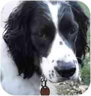 English Springer Spaniel Dog for adoption in Minneapolis, Minnesota - Bella (MN)