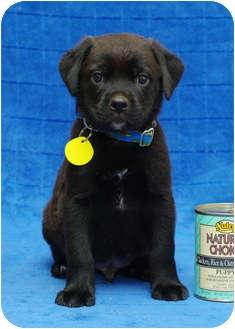 Labrador Retriever Mix Puppy for adoption in Westminster, Colorado - GLASGOW