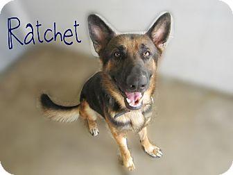 German Shepherd Dog Mix Dog for adoption in Beaumont, Texas - Ratchet