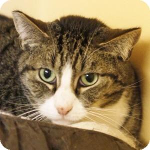 Domestic Shorthair Cat for adoption in Medford, Massachusetts - Junior
