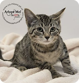 Domestic Shorthair Kitten for adoption in Troy, Ohio - Petey