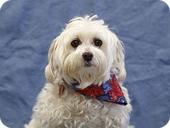Maltese Dog for adoption in Ile-Perrot, Quebec - Stewart