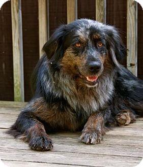 Australian Shepherd Mix Dog for adoption in Staunton, Virginia - Callie
