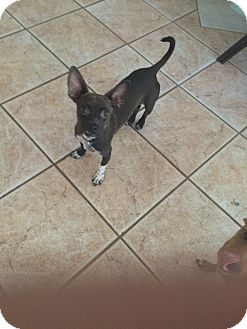 Chihuahua Mix Dog for adoption in Mesa, Arizona - FRANKY 1Y CHIWEENIE ADOPT SAT