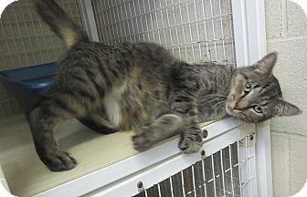 Domestic Shorthair Cat for adoption in Elizabeth City, North Carolina - Sunset