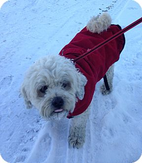 Poodle (Miniature) Mix Dog for adoption in Indianapolis, Indiana - Caper