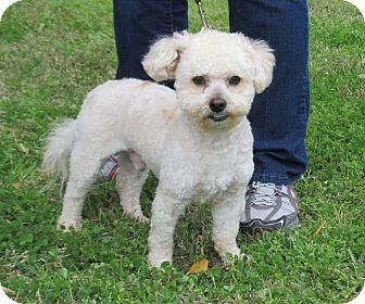 Bichon Frise Dog for adoption in Kingwood, Texas - Dusty