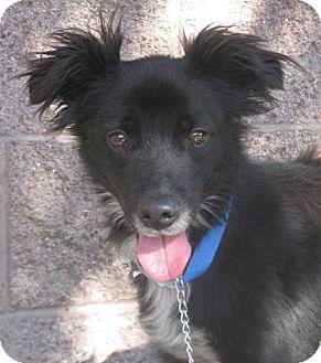 Spaniel (Unknown Type) Mix Dog for adoption in Studio City, California - Scampi