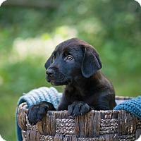 Adopt A Pet :: Cinnamon - Lewisville, IN