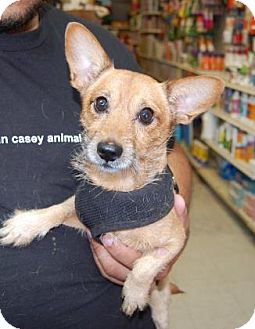 Chihuahua Mix Dog for adoption in Brooklyn, New York - Ross