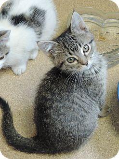 Domestic Shorthair Kitten for adoption in Brookings, South Dakota - Motz