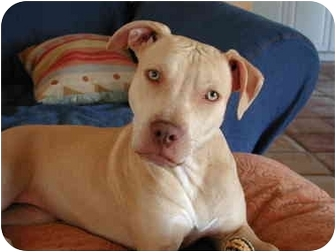 American Staffordshire Terrier/American Pit Bull Terrier Mix Puppy for adoption in Fort Lauderdale, Florida - Sandy