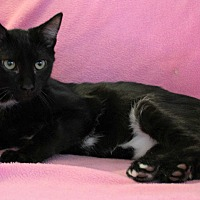 Domestic Shorthair Cat for adoption in Greensboro, North Carolina - Lettie